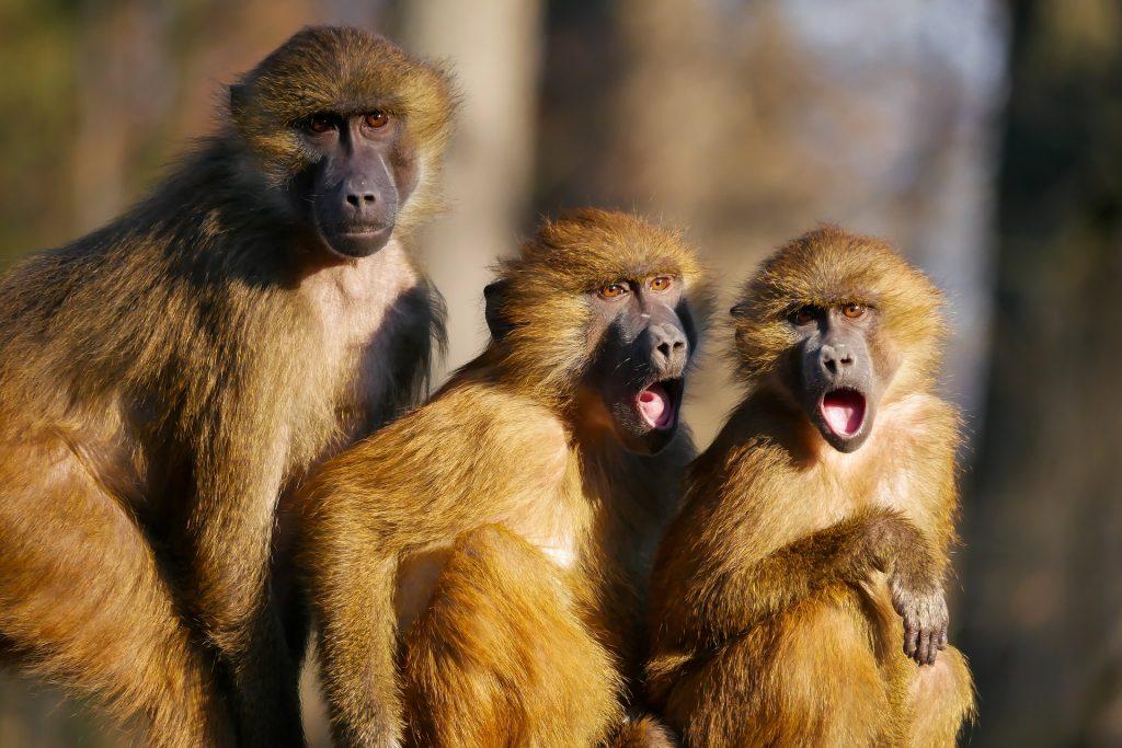 singes choqués